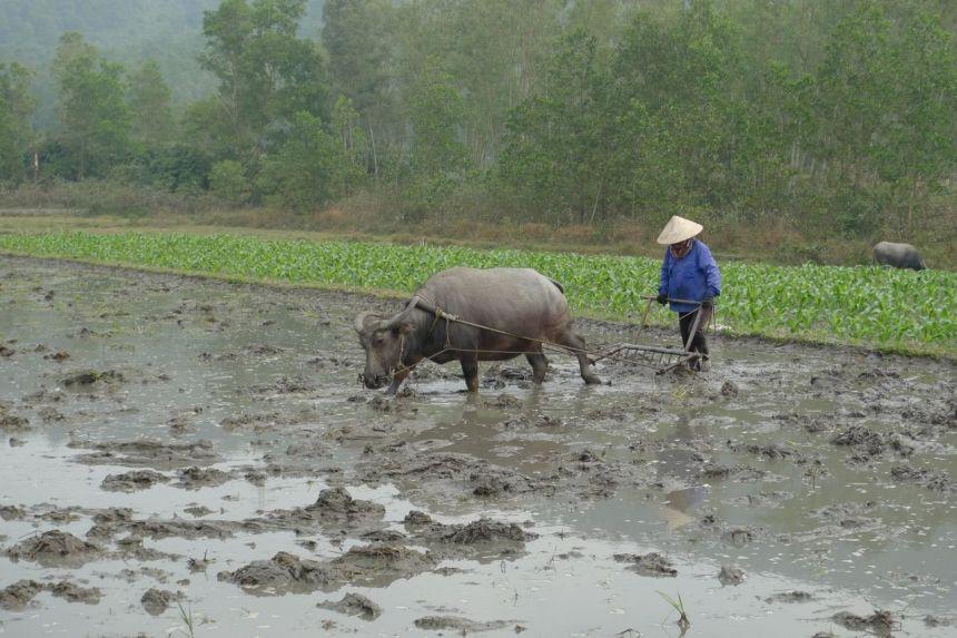 Water Buffalo, Ha Long Bay countryside